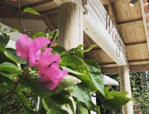 ブーゲンビリアが咲きました